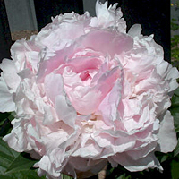Paeonia lactiflora 'Lady Orchid'